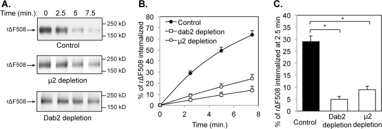 Reduced endocytosis rates of rΔF508 CFTR following μ2 or Dab2 depletion. CFBE41o-ΔF cells were transfected with control, μ2 or Dab2 siRNA oligonucleotides as indicated. At 24 h after transfection, the cells were transferred to Transwell filters and incubated for an additional 4–5 days under an air-liquid interface. During the last 24 h, the cells were incubated at 27°C to promote ΔF508 CFTR rescue. The efficiency of μ2 and Dab2 depletion was > 90%. CFTR internalization assays were performed as described previously [ 28 ]. (A) Representative gels of CFTR internalization assays. The molecular mass in kDa is indicated on the right-hand side. (B) Quantitative analysis of rΔF508 CFTR internalization rates during a 7.5 min time period. The percentage of internalized CFTR was calculated from the loss of biotinylated CFTR during a 37°C incubation for time periods indicated after comparing to that at time 0 min under each condition (n = 3). (C) Quantitative analysis of CFTR internalization rates after 37°C warm-up for 2.5 min following μ2 or Dab2 depletion. Depletion of μ2 or Dab2 significantly reduced CFTR internalization rates in a 2.5 min time period (n = 3, *p
