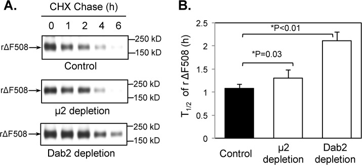Increased cell surface half-life of rΔF508 CFTR in μ2- and Dab2-depleted cells. CFBE41o-ΔF cells were transfected with control, μ2, or Dab2 siRNA oligonucleotides. 48 h after transfection, the cells were cultured for 24 h at 27°C to allow cell-surface expression of rΔF508 CFTR. Cell surface rΔF508 CFTR was then monitored by biotinylation as described in the Material and Methods section after incubating with cycloheximide (CHX)-containing medium at 37°C for time periods indicated. Representative gels are shown ( A ) and quantitative analysis of the half-lives of rΔF508 CFTR under each experimental condition is shown ( B ). Dab2 depletion resulted in a ~2 fold increase in the half-life of cell surface rΔF508 CFTR (n = 3).