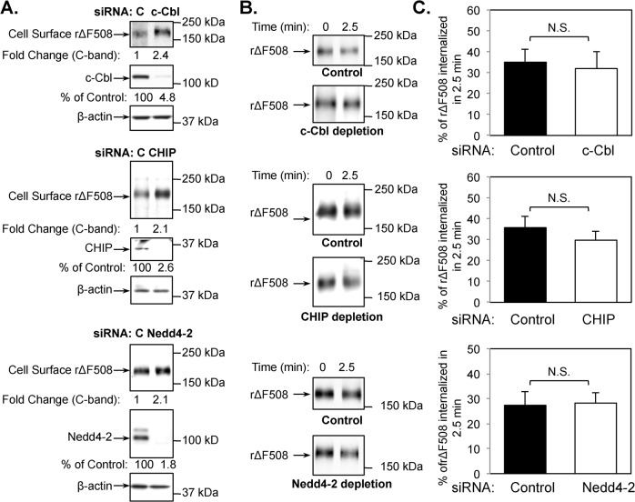 c-Cbl, CHIP or Nedd4-2 depletion do not affect rΔF508 CFTR endocytosis. CFBE41o-ΔF cells were transfected with control or c-Cbl, CHIP, or Nedd4-2 siRNA oligonucleotides. At 24 h after transfection, cells were transferred to Transwell filters and cultured for an additional 4–5 days. The last 24 h, the cells were cultured at 27°C to promote ΔF508 CFTR delivery to the cell surface. (A) Cell surface expression of rΔF508 CFTR after siRNA transfection of control (C), c-Cbl, CHIP or Nedd4-2 as indicated. The knockdown efficiency of c-Cbl, CHIP, and Nedd4-2 was > 95%. β-actin was blotted as a loading control. (B) Representative blots showing the remaining surface rΔF508 CFTR after 2.5 min internalization at 37°C. (C) Quantitative analysis of rΔF508 CFTR internalization after 2.5 min warm-up following c-Cbl, CHIP, or Nedd4-2 siRNA depletion and low-temperature rescue. The rate of rΔF508 CFTR internalization was measured after 2.5 min warm-up as described in the Material and Methods section. Depletion of c-Cbl, CHIP, or Nedd4-2 had no significant (N.S.) effect on rΔF508 CFTR internalization (n = 3).