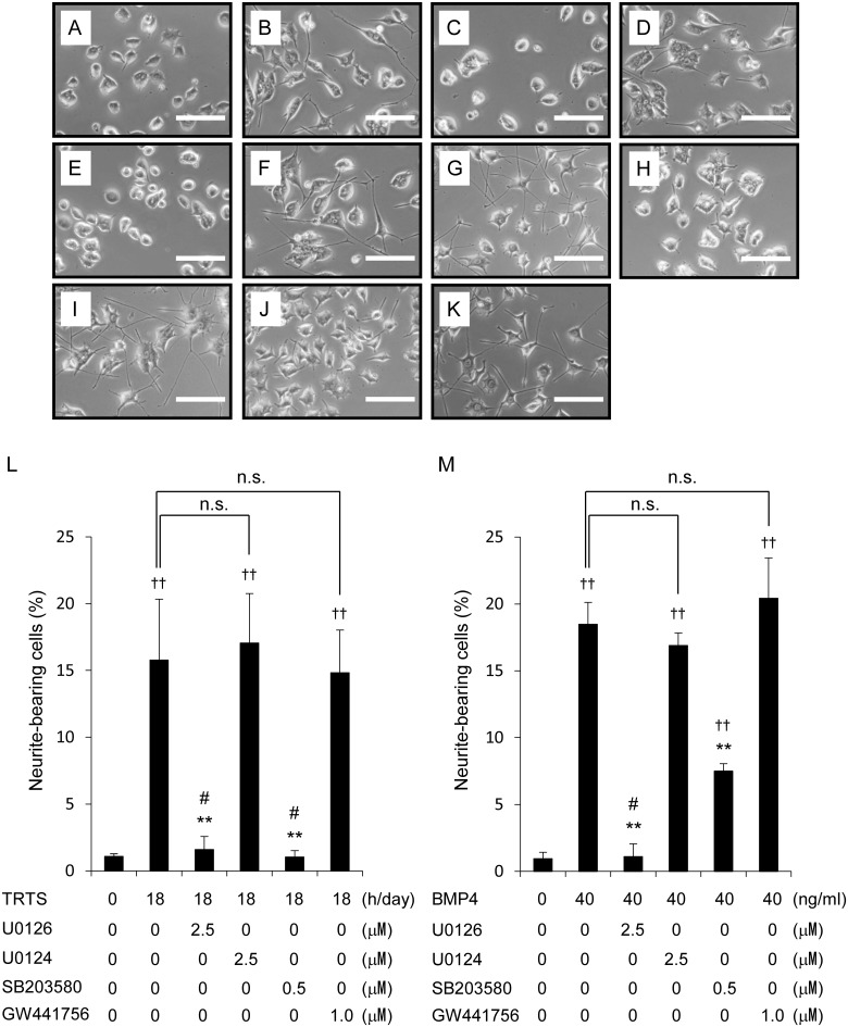 TRTS-induced changes in PC12 cell differentiation after exposure to various inhibitors. (A–K) PC12 cells in the differentiation medium were treated with TRTS at 39.5°C (18 h/day), 40 ng/ml BMP4, or left untreated for 7 days in the presence or absence of 2.5 μM U0126, 2.5 μM <t>U0124,</t> 0.5 μM SB203580, or 1.0 μM GW441756. (A) Representative phase-contrast images of PC12 cells on day 7 after treatment with no stimulation; (B) TRTS (18 h/day); (C) TRTS (18 h/day) plus 2.5 μM U0126; (D) TRTS (18 h/day) plus 2.5 μM U0124; (E) TRTS (18 h/day) plus 0.5 μM SB203580; (F) TRTS (18 h/day) plus 1.0 μM GW441756; (G) 40 ng/ml BMP4; (H) 40 ng/ml BMP4 plus 2.5 μM U0126; (I) 40 ng/ml BMP4 plus 2.5 μM U0124; (J) 40 ng/ml BMP4 plus 0.5 μM SB203580; (K) 40 ng/ml BMP4 plus 1.0 μM GW441756. Scale bar, 100 μm. (L, M) PC12 cells were treated with TRTS at 39.5°C (18 h/day), 40 ng/ml BMP4, or left untreated for 7 days in the presence of the indicated concentrations of U0126, U0124, SB203580, or GW441756. The percentage of neurite-bearing cells on day 7 was assayed. The data represent the mean ± SD of three replicates. †† P