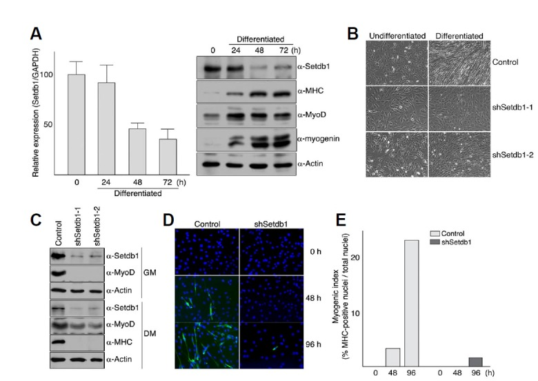 "Inhibition of myogenic differentiation by Setdb1 depletion. (A) levels of Setdb1 decrease during C2C12 myoblast differentiation. C2C12 myoblast cells were grown to confluency in DMEM supplemented with 10% fetal bovine serum and differentiation was induced by serum withdrawal. Cells were harvested at the indicated time points and total RNAs or total protein extracts were prepared as described in ""Materials and Methods"". RNA was analyzed by quantitative real-time RT-PCR using primers specific for Setdb1 and GAPDH. Relative expression of Setdb1 was determined using the standard curve method and then normalized to GAPDH. Error bars indicate standard deviation (left). Proteins were resolved on 7.5% (for Setdb1 and MHC) or 12% (for MyoD, myogenin, and Actin) SDS-PAGE and detected with antibodies against indicated proteins (right). (B-E) C2C12 myoblast cells with Setdb1 shRNA displayed severely delayed differentiation under serum-deprived conditions. C2C12 myoblast cells stably expressing control vector (pLKO.1) or Setdb1 shRNA were maintained in DMEM containing 10% fetal bovine serum and differentiation was initiated as described in Materials and methods. After 72 h, differentiation was assessed by the appearance of myotubes using photomicrograph (B), expression of MHC as well as endogenous MyoD using Western blot analysis (C), and number of MHC-positive nuclei per 10 3 cells using immunofluorescence (D, E)."