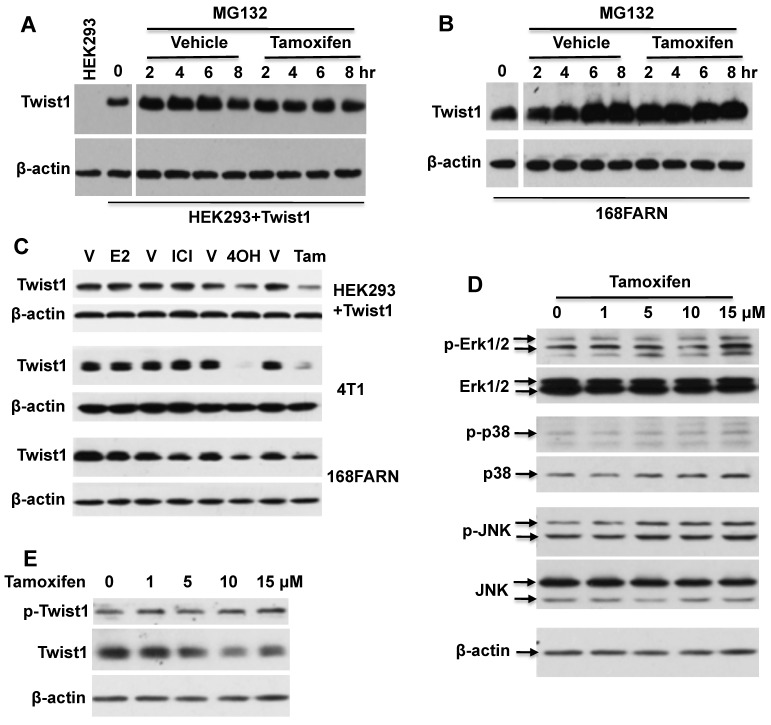 Tamoxifen-accelerated Twist1 degradation is dependent on the proteasome pathway, but is independent of estrogen and MAPK signaling pathways. A. Western blot analysis of Twist1 in HEK293 cells with inducible Twist1 expression (HEK293+Twist1) after cells were treated with 20 μM of MG132 and vehicle (ethanol) or 10 μM of tamoxifen for different time periods as indicated. HEK293 parent cells without Twist1 expression served as a negative control. B. Western blot analysis of Twist1 in 168FARN cells treated with 20 μM of MG132 and vehicle (ethanol) or 10 μM of tamoxifen. C. Western blot analysis of Twist1 in HEK293+Twist1, 4T1 and 168FARN cells treated for 24 hours with vehicle (V, ethanol), or 10 μM of 17β-estradiol (E2), ICI 182,780 (ICI), 4-hydroxytamoxifen (4OH) and tamoxifen (Tam) as indicated. D. Western blot analysis of active phospho-Erk1/2, total Erk1/2, active phospho-p38, total p38, active phospho-JNK, and total JNK in 168FARN cells treated with different concentrations of tamoxifen for 6 hours. E. Western blot analysis of phospho-Ser68-Twist1 and total Twist1 in 168FARN cells treated with different concentrations of tamoxifen for 6 hours. Results shown in all panels are representative results of at least three repeat assays.