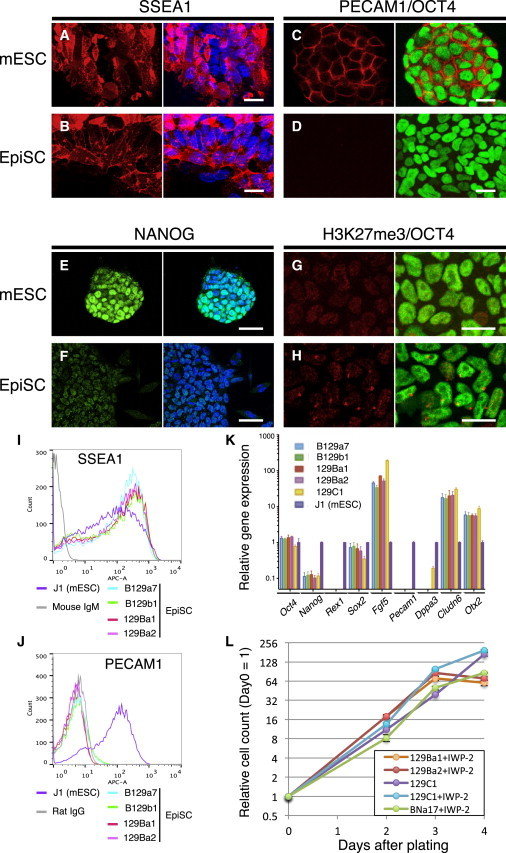 Cellular Pluripotency Marker Expression Levels in EpiSCs Derived by the IWP-2 Method (A–J) Immunofluorescence images for <t>SSEA1</t> (A and B), PECAM1 (red) and OCT4 (green, C and D), NANOG (E and F), and histone H3K27 trimethylation (G and H) in mESCs (A, C, E, and G) and EpiSCs (B, D, F, and H). Nuclear staining is shown using TO-PRO3 (blue). Cytograms of EpiSCs and mESCs are shown using anti-SSEA1 (I) and anti-PECAM1 (J) antibodies. (K) Relative expression levels of marker genes in EpiSCs detected by qRT-PCR compared with J1 mESCs. For each gene, technical triplicate assays and two independent experiments were performed. Error bars represent the standard SEM. (L) Growth curves of EpiSCs. At the indicated time points, 2.0 × 10 4 cells were plated and counted. Averaged data from three independent experiments were plotted. Scale bars, 20 μm (A, B, C, D, G, and H) and 50 μm (E and F).