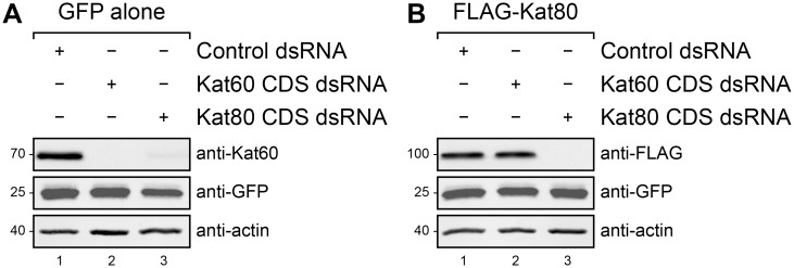 Depletion of Kat80 reduces steady-state Kat60 levels in cells. (A and B) Immunoblots of Drosophila S2 cell lysates prepared from cells stably expressing GFP alone (A) or GFP and copper-inducible FLAG-Kat80 (B) that were treated with control (lane 1), Kat60 CDS (lane 2), or Kat80 CDS dsRNA (lane 3) for 7 days total. The cells described in B were also treated with 0.1 mM CuSO 4 for 20 hours. Molecular weights (in Kd) are shown on the left.