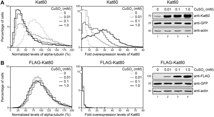 Inducible expression of Kat60 results in measurable microtubule disassembly in our single-cell assay. (A and B) Histograms of normalized levels of alpha-tubulin (Left) and fold overexpression levels of Kat60 (Middle) in Drosophila S2 cells stably expressing GFP and copper-inducible Kat60 (A) or FLAG-Kat80 (B) that were treated with both Kat60 and Kat80 UTR dsRNA for 7 days total. The cells described in A and B were also treated with 0 (light gray), 0.01 (medium gray), 0.1 (dark gray), or 1.0 mM CuSO 4 (black) for 20 hours and immunostained for alpha-tubulin and Kat60. Normalized levels of alpha-tubulin are expressed as a percentage of the mean levels of alpha-tubulin in cells stably expressing GFP alone that were treated with both Kat60 and Kat80 UTR dsRNA for 7 days total. Fold overexpression levels of Kat60 are expressed as a fraction of the difference in the mean levels of Kat60 between cells stably expressing GFP alone that were treated with control and both Kat60 and Kat80 UTR dsRNA for 7 days total. Data are pooled from three independent experiments (see S1 Table for summary statistics of the single-cell measurements collected). (Right) Immunoblots of cell lysates prepared from the cells described in A and B. Molecular weights (in Kd) are shown on the left.