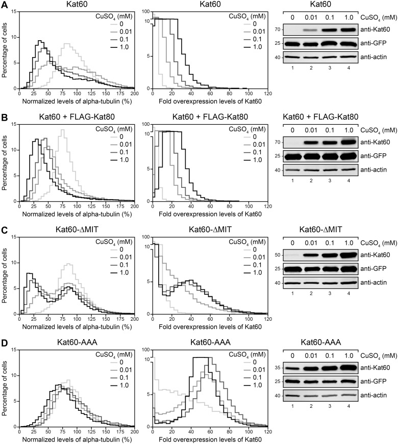Kat60 lacking the MIT domain disassembles microtubules at high levels of accumulation in cells. (A-D) Histograms of normalized levels of alpha-tubulin (Left) and fold overexpression levels of Kat60 (Middle) in Drosophila S2 cells stably expressing GFP and copper-inducible Kat60 (A), Kat60 and FLAG-Kat80 (B), Kat60-ΔMIT (C), or Kat60-AAA (D) that were treated with both Kat60 and Kat80 UTR dsRNA for 7 days total. The cells described in A-D were also treated with 0 (light gray), 0.01 (medium gray), 0.1 (dark gray), or 1.0 mM CuSO 4 (black) for 20 hours and immunostained for alpha-tubulin and Kat60. Normalized levels of alpha-tubulin are expressed as a percentage of the mean levels of alpha-tubulin in cells stably expressing GFP alone that were treated with both Kat60 and Kat80 UTR dsRNA for 7 days total. Fold overexpression levels of Kat60 are expressed as a fraction of the difference in the mean levels of Kat60 between cells stably expressing GFP alone that were treated with control and both Kat60 and Kat80 UTR dsRNA for 7 days total. Data are pooled from three independent experiments (see S2 Table for summary statistics of the single-cell measurements collected). (Right) Immunoblots of cell lysates prepared from the cells described in A-D. Molecular weights (in Kd) are shown on the left.
