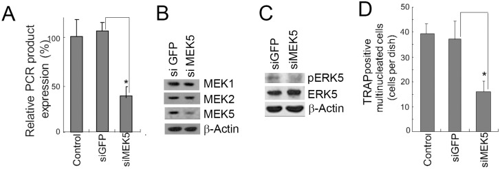 MEK5 siRNA inhibited the formation of TRAP (+) MNCs in 4B12 cells. (A) 4B12 cells were transfected with GFP siRNA or MEK5 siRNA. The 4B12 cells (2.5 × 10 4 ) were cultured in the presence of M-CSF (10 ng/ml) and sRANKL (20 ng/ml). After 3 days, MEK5 gene expression was measured by qRT-PCR. Similar results were obtained in two independent experiments. * P