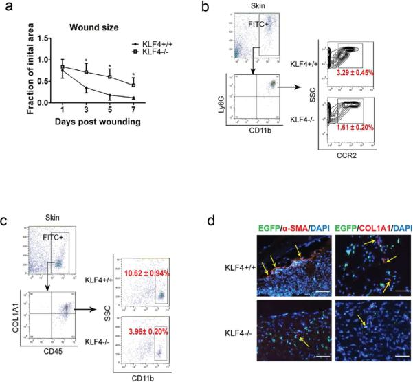 Delayed wound healing in bone marrow KLF4 knockout mice and compromised accumulation of CCR2+MDSCs and fibrocytes (a). Chimeric mice receiving bone marrow cells from Rosa26CreER/KLF4(flox)/β-actin-EGFP donor mice were used. Quantification of the wound size in each group of mice is shown (n=10). (b). Single cells from the skin wound were gated by EGFP. They were examined by CD11b and Ly6G antibodies, followed by further analysis using a CCR2 antibody. Representative contour plots in each group are shown. (c). Similar to (b) except COL1A1, CD45, and CD11b antibodies were used to analyze the fibrocytes. (d). Representative immunofluorescent staining of the wounds with <t>α-SMA</t> and COL1A1 antibodies. Yellow arrows indicate EGFP/α-SMA or EGFP/COL1A1 co-expressing cells (Scale bars: 50 μm).