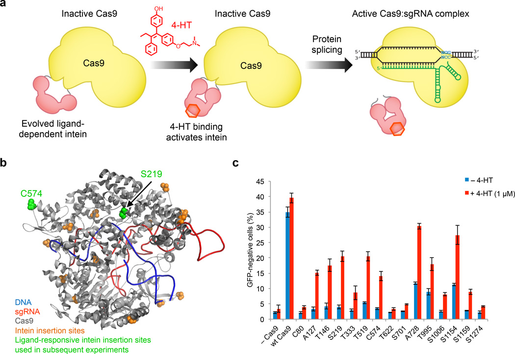 Insertion of an evolved ligand-dependent intein enables small-molecule control of Cas9. ( a ) Intein insertion renders Cas9 inactive. Upon 4-HT binding, the intein undergoes conformational changes that trigger protein splicing and restore Cas9 activity. ( b ) The evolved intein was inserted to replace each of the colored residues. Intein-inserted Cas9 variants at S219 and C574 (green) were used in subsequent experiments. ( c ) Genomic EGFP disruption activity of wild-type Cas9 and intein-Cas9 variants in the absence or presence of 4-HT. Intein-Cas9 variants are identified by the residue replaced by the intein. Error bars reflect the standard deviation of three biological replicates.