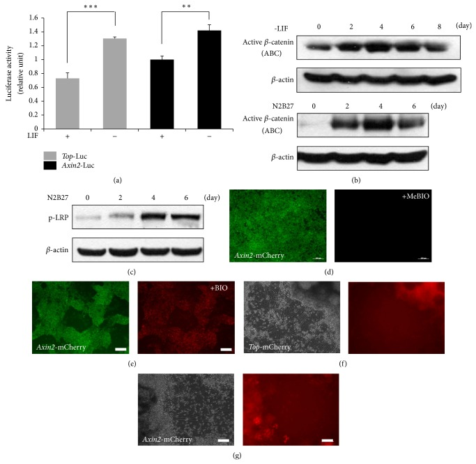 Increase in canonical Wnt signaling during neural differentiation. (a) Both TOP and Axin2 promoter luciferase activities in E14 ES cells were induced at 48 h after LIF removal. (b) Western blot analysis using ABC (active β -catenin) and β -actin antibodies. Active β -catenin level was the highest on day 4 of neural differentiation. (c) p-LRP level was the highest on day 4 of neural differentiation. (d)-(e) In Oct4- Gip/Ax2P-mCherry cells, only GFP expression was detected. mCherry expression was increased after 24 h addition of BIO (0.75 μ M). (f)-(g) mCherry expression increased in the neural precursor region of TOP-mCherry ((d) and (e)) and Ax2 p-mCherry ((f) and (g)) stable cell lines during neuronal differentiation. Stable cell lines were cultured in N2B27 medium for 14 days. Scale bars, 100 μ m.