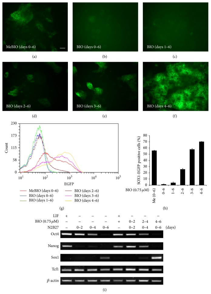 Increase in neural differentiation of precursor cells by GSK3 β inhibitor (BIO) during days 4 to 6 in N2B27 medium. (a)–(f) 46C ES cells were cultured in N2B27 medium for 6 days. GFP expression was elevated by BIO treatment (0.75 μ M) from days 4 to 6, whereas GFP expression was reduced by BIO treatment (0.75 μ M) from days 0 to 3. (g) FACS analysis of Sox1 -GFP expression during monolayer differentiation in N2B27 medium. (h) Proportions of Sox1 -GFP expressing cells as determined by FACS. (i) RT-PCR analysis showed that Nanog and Sox1 expression were elevated by BIO treatment (0.75 μ M) under nondifferentiation and neural differentiation conditions, respectively. Scale bars, 100 μ m.