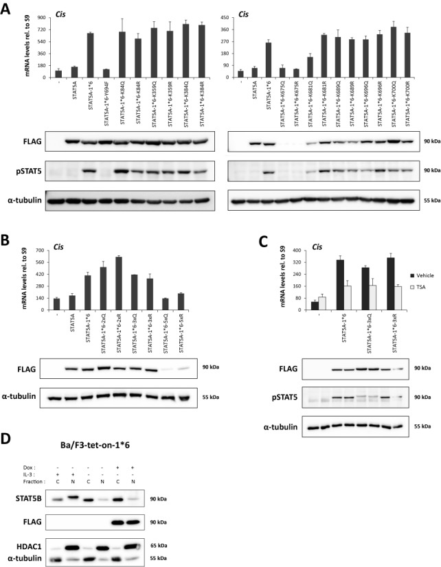 Lysine acetylation is not required for STAT5A-1*6 transcriptional activity in Ba/F3 cells. ( A–C ) Ba/F3 cells were transfected with empty pcDNA3 (-) or pcDNA3-based plasmids expressing wild-type mSTAT5A, constitutively active mSTAT5A-1*6 or mSTAT5A-1*6 mutants (K > Q, K > R and Y694F), as indicated. Transfected cells were maintained for 10 h in IL-3-free medium to prevent activation of endogenous STAT5. In (C), transfected cells were treated with 200 nM TSA or 0.02% DMSO (vehicle) for the last 90 min before harvest. Transgene expression and phosphorylation of STAT5 proteins were verified by western blot analysis of Brij whole-cell lysates using FLAG- and pSTAT5-specific antibodies, respectively. α-Tubulin was used as a loading control. Expression of the STAT5 target gene Cis was investigated by quantitative RT-PCR, as before. Of note, data not shown suggest that the weaker pSTAT5 signal consistently detected for the 3xQ mutant is likely due to epitope masking, probably as a result of multiple adjacent K > Q mutations surrounding the phospho-tyrosine residue. ( D ) Ba/F3-tet-on-1*6 cells were grown for 22 h in the absence or presence of 1 μg/ml doxycycline (Dox) to induce mSTAT5A-1*6 expression. Cells were kept in IL-3-containing medium for the first 12 h, washed twice in RPMI 1640 and further cultivated in IL-3-deprived medium for 10 h (±Dox, -IL-3) until harvest to inactivate endogenous STAT5 activity. As a positive control for endogenous STAT5 activity, non-induced cells were maintained in IL-3-containing medium (-Dox, +IL-3) for the duration of the experiment (22 h). Cytosolic and nuclear protein lysates were analysed by western blot to monitor endogenous nuclear STAT5B protein level (STAT5B) before and after induction of STAT5A-1*6 (FLAG). α-Tubulin and HDAC1 served as cytosolic and nuclear markers, respectively, to verify the quality of cell fractionation.