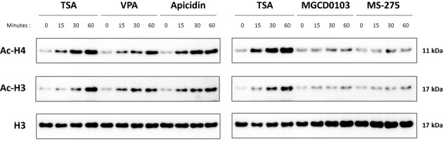Histone acetylation is rapidly and specifically increased upon treatment with deacetylase inhibitors that inhibit STAT5 activity. Ba/F3 cells were treated for 0–60 min with 200 nM TSA, 3 mM VPA, 500 nM apicidin, 1 μM MGCD0103 or 5 μM MS-275. Freeze-thaw protein lysates were analysed by western blot using antibodies directed against acetylated histone H3 (Ac-H3), acetylated histone H4 (Ac-H4) and total histone H3 (H3) as loading control.