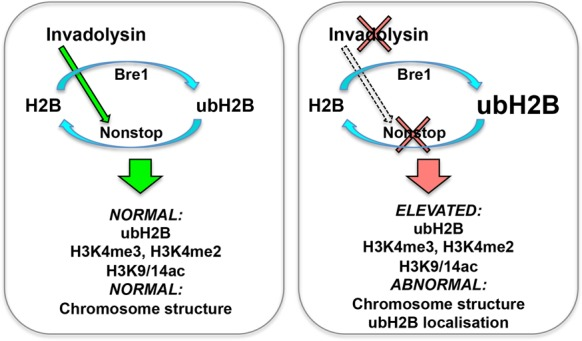 Model for the interaction between invadolysin, nonstop and bre1 . We hypothesize that invadolysin affects higher order chromosome architecture through an effect on the balance of histone modification. Ubiquitination of histone H2B is accomplished through the concerted action of the bre1 ubiquitin ligase and the nonstop ubiquitinating protease. In the absence of invadolysin, we speculate there is decreased activity of nonstop, which would result in the accumulation of ubiquitinated H2B. In nonstop and invadolysin mutants, and in animals where Bre1 is overexpressed, ubH2B, H3K4me3, H3K4me2 and H3K9/14ac accumulate and abnormally-structured chromosomes are observed.
