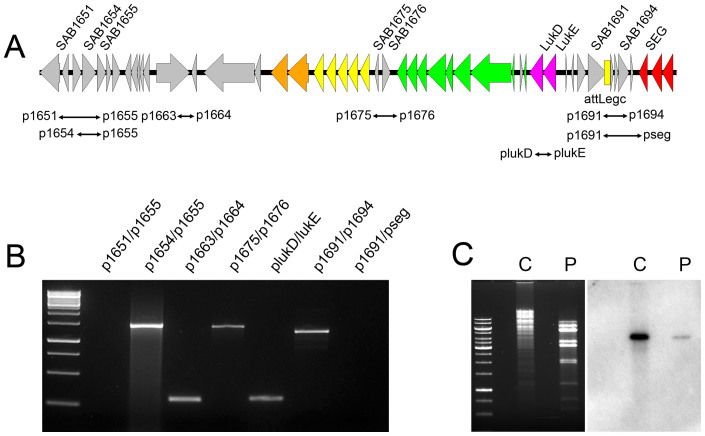 Identification of a tranducing phage particle, φSaBov LUK , harboring linear phage DNA. (A) A schematic map of linear phage DNA, based on PCR results (see below). Coloring of genes is as in Fig. 1 . (B) Based on genome sequencing results of MNKN and CTH96 transductants, various sets of primer (see above map) were designed and tested to locate a linear form of phage DNA containing a bacteriocin gene cluster and LukD/E genes. PCR was positive with primer pairs p1654/p1655 and p1691/p1694 but not with p1651/p1655 and p1691/pseg, indicating a linear form of phage DNA with left flanking near SAB1654, and right flanking near SAB1694. (C) Southern blot analysis of RF122 chromosomal DNA (C) and phage DNA (P) digested with EcoR I restriction enzyme using a probe specific to the lukE gene (the membrane used in this figure is the same as in Fig. 1 ).