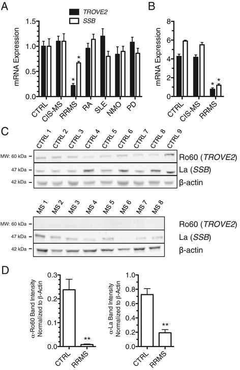 Ro60 and La proteins are depressed in RRMS. ( A ) Ro60 ( TROVE2 ) and La ( SSB ) transcript levels in CTRL (N = 24), CIS-MS (N = 16), RRMS (N = 22), RA (N = 18), SLE (N = 24), NMO (N = 22), and PD (N = 19) were determined by quantitative PCR after cDNA synthesis using oligo-dT. Results are normalized to CTRL = 1.0 after normalization to transcript levels of GAPDH , error bars are S.D. ( B ) As in (A) using whole genome RNA-sequencing data. ( C ) Western blotting to determine Ro60 and La protein levels in PBMC from CTRL (N = 9) and RRMS (N = 8). ( D ) Quantitative estimates of protein abundance relative to β-actin. * P