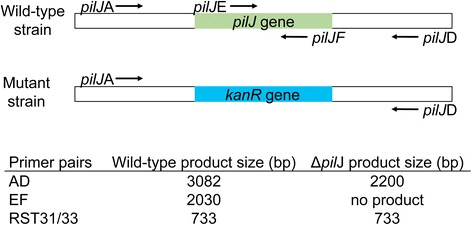 Orientation of primers for Xylella fastidiosa pilJ gene deletion. Location of binding sites for PCR primers and length of resulting PCR products for transformed XfΔ pilJ strains and for wild-type control or non-transformed cells. RST31/33 are primers specific to X. fastidiosa and used for bacteria confirmation.