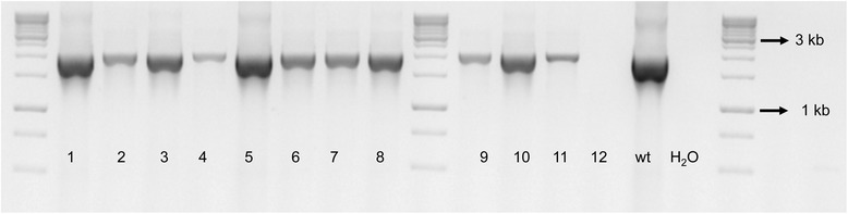 Mixture of wild-type and mutant Xylella fastidiosa strains after first isolation. The XfΔ pilJ mutant confirmed in Figure 2 was stored at -80°C, streaked onto periwinkle agar plates amended with kanamycin, and the genotype assessed for 12 single colonies. Each number denotes a single colony. The pilJ E/ pilJ F (EF) primers amplified a 2030 bp band for non-transformed X. fastidiosa and no band for the XfΔ pilJ mutant. Wild-type X. fastidiosa DNA (wt) was used as a positive control for the PCR reaction, while primer reaction without template DNA represented by H 2 O, was used as a negative control.