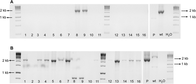 Mixture of wild-type and mutant Xylella fastidiosa strains after third isolation. The XfΔ pilJ mutants confirmed in Figure 4 (isolates 4 and 17) were streaked onto PW agar plates amended with kanamycin and the genotype assessed for 16 single colonies. Each number denotes a single colony. A . The pilJ E/ pilJ F (EF) primers amplified a 2030 bp band for non-transformed bacteria and no equivalent band for the XfΔ pilJ strains or the deletion plasmid (P). B . The pilJ A/ pilJ D (AD) primers amplified a 3082 bp band for non-transformed cells and a 2200 bp fragment from the XfΔ pilJ strains and the deletion plasmid (P). Wild-type X. fastidiosa DNA (wt) was used as a positive control for the PCR reactions, while primer reaction without template DNA represented by H 2 O, was used as negative controls for both PCR reactions.