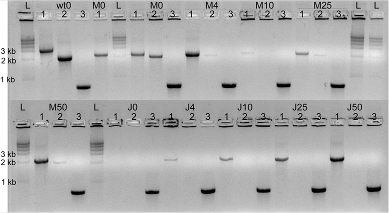 Protection of wild-type Xylella fastidiosa from antibiotic selection pressure. Wild-type X. fastidiosa (wt), XfΔ pilJ mutant (J), or an equal mixture of both (M) were grown in PD2 liquid media before being plated onto agar plates with 0, 4, 10, 25, or 50 μg/mL kanamycin, and tested by PCR. The pilJ A/ pilJ D (AD) primers amplified a 3082 bp band for wild-type cells and a 2200 bp fragment from the XfΔ pilJ strain. The pilJ E/ pilJ F (EF) primers amplified a 2030 bp band for wild-type bacteria and no equivalent bands for the XfΔ pilJ mutant strains. For mixed samples, the AD primers amplified a Xf pilJ strain fragment and the EF primers amplified a wild-type band. The RST31/33 (RST) primers confirmed that the bacteria were X. fastidiosa . Wells of each cell type and kanamycin concentration condition are numbered as follows: (1) AD amplification, (2) EF amplification, and (3) RST amplification.