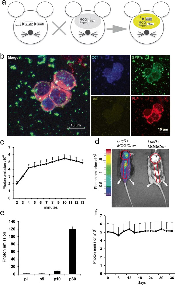 The oLucR mouse model shows CNS-specific in vivo bioluminescence. (a) ODC-specific expression of luciferase is achieved by crossing a Cre-inducible luciferase reporter mouse (left) to the MOGi-cre strain. (b) EYFP + cells were sorted and stained with CC1-, GFP-, Iba1-, and PLP-specific antibodies following cytospin. Microglia/macrophage cells were excluded by positive CD45 and CD11b staining. Dead cells were excluded by Aqua Live/Dead staining reagent (Life Technologies). (c) Kinetics of photon emission acquired with an IVIS camera in anesthetized oLucR animals following intraperitoneal injection of 150 ng/kg of D-luciferin (mean ± SEM, n = 8). (d) In vivo bioluminescence recorded in a representative oLucR mouse (left) and a control LucR animal where the STOP codon impedes luciferase expression (right). Shown in red are the specific regions of interest (ROIs) for signal acquisition. (e) The CNS from oLucR mice of the indicated ages were homogenized and analyzed in a luminometer assay. Photon emission of the lysates is shown (mean ± SEM, n = 3). (f) oLucR mice were injected with luciferin every 3 days and bioluminescence recorded from specific brain and spinal cord ROIs over the course of 36 days (mean ± SEM, n = 4).