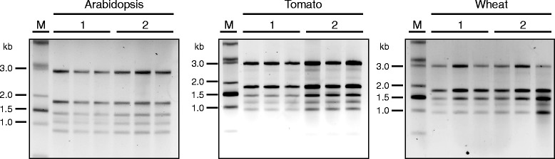 Non-denaturing agarose gel (1.5%) electrophoresis in <t>TBE</t> with in-gel <t>ethidium</t> bromide staining of RNA isolated from Arabidopsis, wheat and tomato leaves using TRI reagent (SIGMA) (labelled as 1) or the protocol by Oñate-Sánchez and Vicente-Carbajosa [ 4 ] (labelled as 2). In all cases, 500 theoretical nanograms, according to the spectrophotometric quantification, were loaded per lane. Samples were extracted and analysed in triplicates. Starting material per sample was as follows: Arabidopsis – eight leaf discs (7 mm diameter) of five-week-old plants grown in short day conditions; wheat – eight leaf discs (7 mm diameter) of four-week-old plants grown in the glasshouse; tomato – eight leaf discs (7 mm diameter) of five-week-old plants grown in the glasshouse. Samples were resuspended in 30 μL of water in all cases. The RNA ladder is the 0.5-10 Kb RNA ladder (Life Technologies).