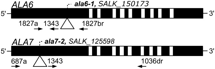 Diagrams of ALA6 and ALA7 showing locations of T-DNA disruptions . Filled boxes represent exons and open boxes represent introns. T-DNA insertions are represented with triangles and identified by ala allele numbers and T-DNA allele accessions. Primers used for PCR genotyping are represented by arrows and point in the 5′ to 3′ direction. Primer 1343 corresponds to the T-DNA left border. The left-border junctions are as follows: ala6-1 , TGGGACTCCGGCTCAAGCACGCACCgatcgccttaatcgccttaatccgt; and ala7-2 LB: atttgtttacaccacaatatatcctGAACTATCAAATGTGAAGATCCCAA. Capital letters represent ALA genomic DNA and lowercase letters represent T-DNA .