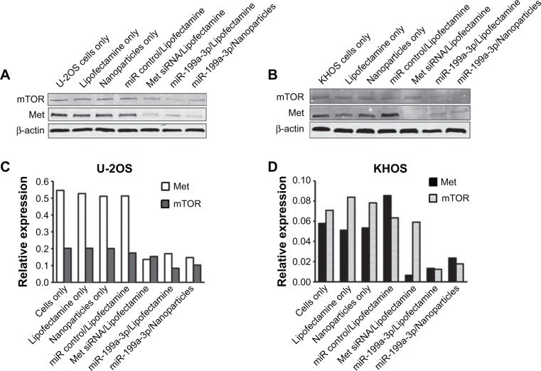 Protein expression levels in osteosarcoma cells transfected with microRNAs delivered using dextran nanoparticles. Notes: Protein expression in miR-199a-3p dextran nanoparticle transfected osteosarcoma cells. U-2OS ( A ) and KHOS ( B ) cells were transfected with miR-199a-3p encapsulated with dextran-based nanoparticles, or transfected with Lipofectamine ® RNAiMAX. The expression of mTOR and Met were determined by Western blots, and the data were analyzed by densitometry ( C and D ). Abbreviation: β-actin, beta-actin.