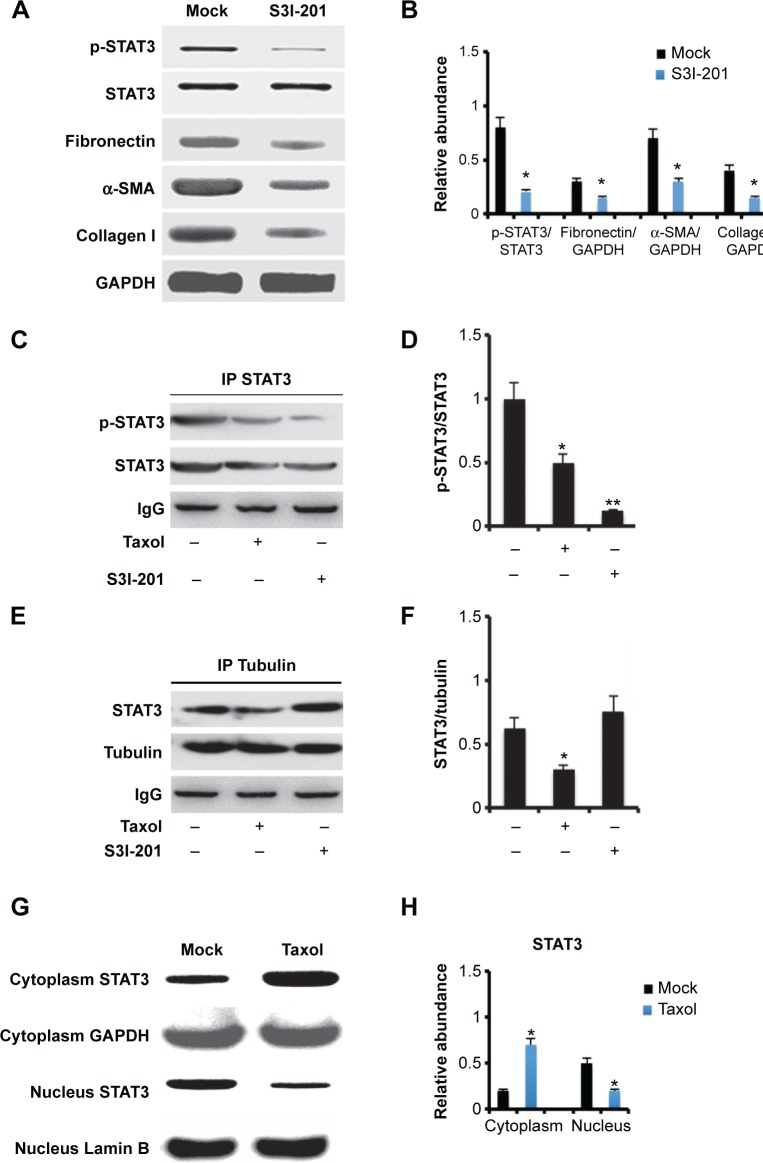 Paclitaxel disrupts interaction of STAT3 with tubulin and inhibits STAT3 nucleus translocation. Notes: Cultured NRK-49F cells were treated with 4 μM paclitaxel or 50 mM S3I-201 for 6 to 24 hours, followed by immunoblot for STAT3, p-STAT3, and ECM genes, and immunoprecipitation with antibodies to STAT3 or tubulin. ( A ) Immunoblot analysis of STAT3, p-STAT3, fibronectin, α-SMA, collagen I, and GAPDH after 24 hours of treatment with 50 mM S3I-201. ( B ) Expression levels of fibronectin, α-SMA, and collagen I were quantified by densitometry, and normalized with GAPDH. The density of the bands was quantitated, and p-STAT3 was normalized to STAT3 as a loading control. ( C ) Immunoprecipitates with antibodies to STAT3 were then subjected to immunoblot analysis of STAT3 and p-STAT3, with IgG as input control. ( D ) The density of the bands was quantitated, and p-STAT3 was normalized to STAT3 as a loading control. ( E ) Immunoprecipitates with antibodies to tubulin were then subjected to immunoblot analysis of STAT3, with IgG as input control. ( F ) The density of the bands was quantitated, and STAT3 was normalized to tubulin as a loading control. ( G ) Immunoblot analysis of STAT3 in cytoplasm and nucleus at 6 hours of treatment with paclitaxel. ( H ) The density of the bands was quantitated, and STAT3 was normalized to GAPDH or Lamin B as a loading control. Representative immunoblots from each group (n=8). Data are presented as mean ± SEM. Significant P -values reflecting differences are indicated over the bars (* P