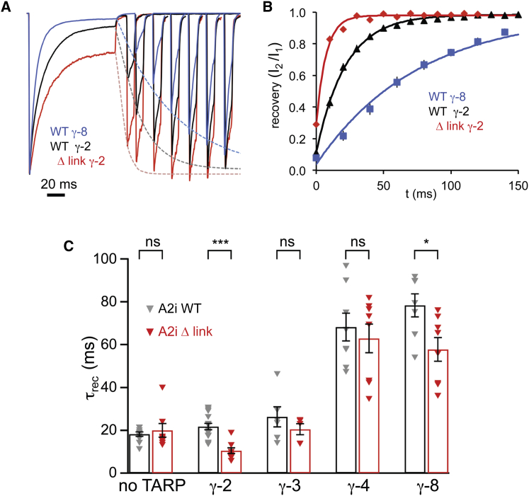 The Δ Link Mutation Accelerates Recovery from Desensitization in the Presence of TARPs (A) Representative traces illustrating recovery from desensitization (averages of three trials in each case). A 100 ms pulse of 10 mM L-glutamate was followed, at increasing intervals, by a 10 ms test pulse, and the recovery in the amplitude of the test response was fitted by a monoexponential function (dashed lines). Currents were normalized to the first peak, and for clarity, only selected traces are shown. (B) Summary of the data presented in (A). Relative currents at individual time points are shown ± SEM (error bars masked by the symbols). The solid lines are monoexponential fits of the average values (giving time constants of 7.3, 21.8, and 75.6 ms for GluA2 Δ link + γ-2, GluA2 WT + γ-2, and GluA2 WT + γ-8, respectively). (C) Pooled data for the time constant of recovery from desensitization (τ rec ) for GluA2iQ WT and Δ link expressed alone (n = 11 and 8, respectively) or with TARPs γ-2 (n = 17 and 9), γ-3 (n = 6 and 5), γ-4 (n = 8 each), or γ-8 (n = 7 and 8) (shown ± SEM). Two-way ANOVA showed significant main effects of TARP subtype ( F 4, 77 = 62.61, p = 1.91 × 10 −23 ) and linker mutation ( F 1, 77 = 25.58, p = 4.14 × 10 −6 ) and a significant interaction between linker and TARP effects ( F 4, 77 = 3.14, p = 0.019). Asterisks denote significance of difference between WT and Δ link for each TARP condition ( ∗ p