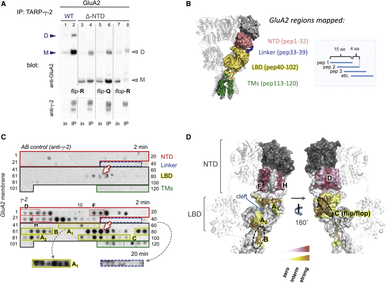 """Mapping the TARP γ-2 Contact Region on <t>GluA2</t> (A) coIP of GluA2 variants with TARP γ-2. The blot was probed with polyclonal GluA2 antibody (top panel) and anti γ-2 (bottom panel). Both WT and ΔNTD protein migrated as monomer (M) and dimer (D), denoted by arrowheads. Note that while inputs were comparable, amounts of IPed GluA2 varied between conditions. (B) Schematic of the peptide array layout (right). Each peptide is spotted onto a nitrocellulose membrane (C). Peptide coverage of the rat GluA2 sequence is outlined in the left panel in color code as indicated. The four GluA2 regions—the NTD lower lobe, the NTD-LBD linkers, the LBD, and the TM segments of the channel—are highlighted. GluA2 peptide numbers covering each domain are indicated in brackets. See Table S1 for peptide sequences. (C) Regions of GluA2 binding to TARP γ-2. (Upper panel) Nonspecific signal, resulting from anti-γ-2 antibody binding to GluA2 in the absence of the γ-2 probe (""""AB control""""). AMPAR domains are highlighted in boxes and match the color scheme in (B). Peptide numbers are indicated on the side. The membrane was exposed to an X-ray film for 2 min; the arrow denotes nonspecific signals. (Lower panel) The same membrane was probed with full-length TARP γ-2 and detected with anti-γ-2 AB followed by a HRP-labeled secondary AB (2 min exposure). Individual AMPAR secondary structure elements, corresponding to NTD and LBD helices, are highlighted in stippled boxes on the blot (compared with D). The bottom panel shows a longer exposure for the LBD-A1 region (yellow) and the NTD-LBD linker (blue). See Figure S4 A for a longer exposure of the blot. (D) TARP binding sites deduced from the peptide array in (C) are mapped onto the extracellular region of GluA2 (PDB: 3KG2 ). NTD interaction sites are denoted in deep red (strong interaction) and light pink (weaker interaction; see graded bar below), with alpha helices contacted by γ-2 denoted by (D), (F), and (H). LBD interaction sites are highlight"""