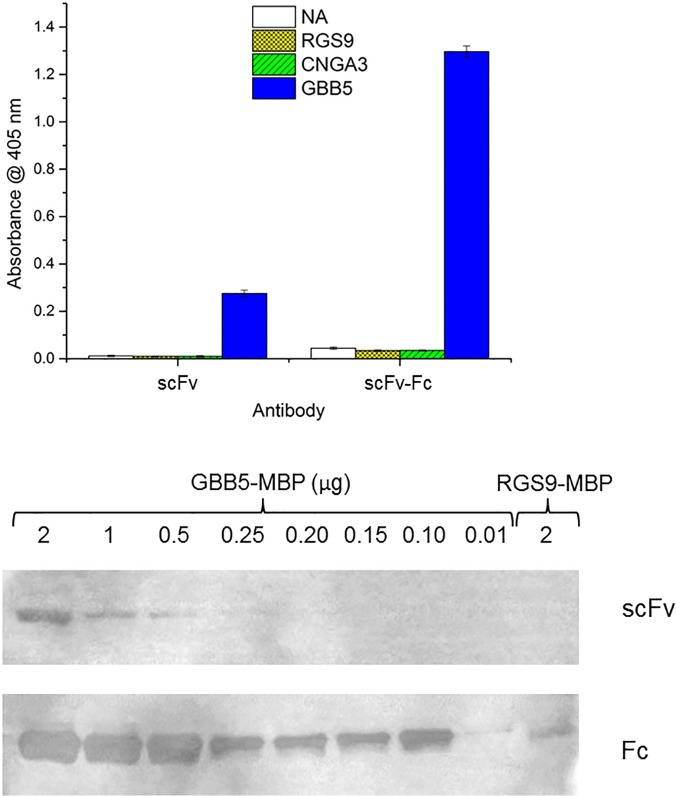 Comparison of scFv and the Fc format of the anti-GBB5-H9. (A) Target peptides are immobilized on a NeutrAvidin-coated microtiter plate at 25 nM and assayed with 30 nM of monomeric E . coli expressed anti-GBB5 H9 scFv or 10 nM of the HEK-293 expressed bivalent Fc format. The secondary antibody anti-FLAG-HRP is added and subsequent chromogenic reagent. Absorbance is recorded at 405 nm. (B) The GBB5-MBP fusion protein (46 kDa) is detected on PVDF membrane using the anti-GBB5-H9 scFv or Fc format of the H9 clone. Amount loaded is in μg and decreases from left to right. The negative control included is the RGS9-MBP fusion protein at 2μg.