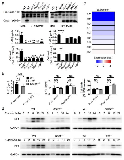 F. novicida infection induces IRF1 expression in a manner that requires type I interferon signaling ( a ) Caspase-1 activation, IL-18 release and cell death in unprimed bone marrow-derived of the indicated strain macrophages (BMDMs) infected with F. novicida (MOI 100) for 20 h or transfected with poly(dA:dT) for 5 h. ( b ) IL-1β and IL-18 release and cell death in unprimed BMDMs infected with F. novicida for 20 h or transfected with poly(dA:dT) for 5 h. ( c ) Heat map of microarray analysis showing relative expression of interferon regulatory factors (IRFs) genes in Ifnar1 −/− BMDMs compared to wildtype (WT) BMDMs infected with F. novicida for 8 h. ( d ) Induction of IRF1 expression in unprimed BMDMs infected with F. novicida (MOI 50). Graphs show mean and s.e.m. of two ( b ) or three ( a,d ) independent experiments. Microarray analysis was performed using duplicate samples of each genotype ( c ). * P