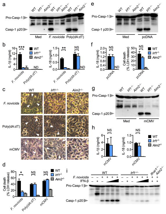 IRF1 is essential for AIM2 inflammasome activation by F. novicida infection ( a,b ) Caspase-1 activation, IL-1β and IL-18 release in unprimed BMDMs infected with F. novicida (MOI 100) for 20 h or transfected with poly(dA:dT) for 5 h. ( c,d ) Cell death in unprimed BMDMs infected with F. novicida for 20 h, transfected with poly(dA:dT) for 5 h or infected with mCMV (MOI 10) for 10 h. Arrowheads indicate dead cells. ( e,f ) Caspase-1 activation, IL-18 release and cell death in unprimed BMDMs transfected with pcDNA for 5 h. ( g,h ) Caspase-1 activation and IL-1β and IL-18 release in unprimed BMDMs infected with mCMV (MOI 10) for 10 h. ( i ) Caspase-1 activation in BMDMs infected with F. novicida with or without co-stimulation with recombinant mouse IFN-β (25, 250 and 500 U/ml). Graphs show mean and s.e.m. of two ( g,h ) or three ( a–f, i ) independent experiments. * P