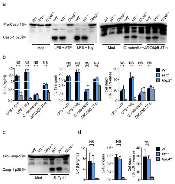 IRF1 is not required for canonical or non-canonical NLRP3 or NLRC4 inflammasome activation ( a ) Caspase-1 activation, ( b ) IL-1β and IL-18 release and cell death in LPS-primed BMDMs stimulated with ATP or nigericin or in unprimed BMDMs infected with Citrobacter rodentium (MOI 20) or ΔfliCΔfljB mutant S. Typhimurium (MOI 20) or wild-type S. Typhimurium ( S Tm) for 20 h. ( c ) Caspase-1 activation, ( d ) IL-1β and IL-18 release and cell death in unprimed BMDMs infected with log-phase grown S. Typhimurium (MOI 1) for 4 h. Graphs show mean and s.e.m. of three independent experiments. NS, not significant (two-tailed t -test).