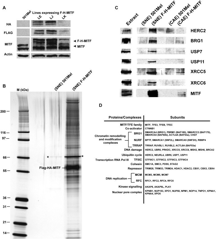 Purification of MITF-associated complexes. ( A ) Western blot of 501Mel cell lines stably expressing Flag-HA-tagged-MITF (F-H-MITF). ( B ) The immunoprecipitated material from the soluble nuclear extract (SNE) was separated by SDS PAGE and stained with silver nitrate. F-H-MITF is indicated along with * that designates a contaminating protein seen in the control immunoprecipitations. Lane M corresponds to a molecular mass marker indicated in kDa. ( C ) Immunoblot detection of HERC2, BRG1, USP7, USP11, XRCC5, and XRCC6 in the MITF-associated complexes. ( D ) Summary of proteins and complexes interacting with MITF. Shown are the proteins found specifically in the immunopurifications of F-H-MITF classified according to their function and organisation into known complexes. DOI: http://dx.doi.org/10.7554/eLife.06857.003