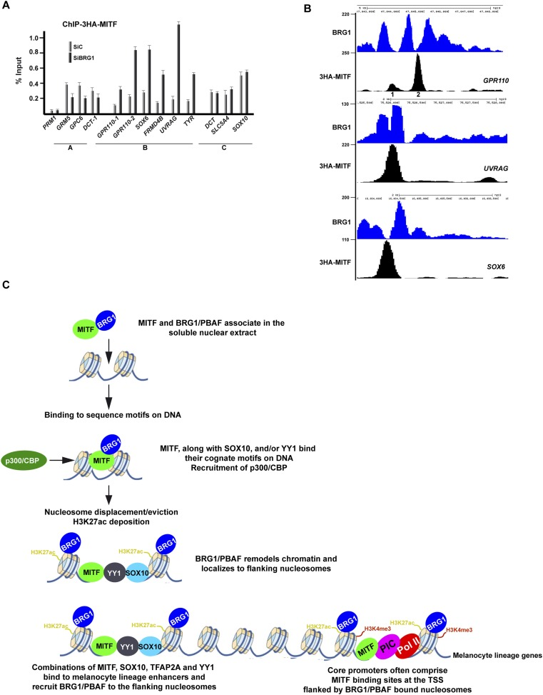 BRG1 controls dynamics of MITF binding. ( A ) ChIP-qPCR of 3HA-MITF in 501Mel-CL8 cells at the indicated loci following transfection with siLuc or siBRG1. The protamine 1 locus (PRM1) was used as a negative control. ( B ) UCSC screenshots illustrating binding of MITF between two BRG1-occupied nucleosomes at selected loci assayed by ChIP-qPCR in panel A . sThe GPR110-1 and GPR110-2 sites assayed in Panel A are indicated in panel B . ( C ) A model for regulatory elements in the melanocyte lineage. Melanocyte lineage enhancers comprise combinations of MITF, SOX10, YY1, and also TFAP2A and ETS1 (not represented for simplicity. Note also that Pol II and the PIC are present at active enhancers where enhancer RNAs are made. For simplicity these are also not represented.) bound to a nucleosome-depleted region. MITF but also these other factors recruit BRG1/PBAF to the nucleosomes flanking the combinations of transcription factors. BRG1/PBAF also occupies the nucleosomes flanking the TSS and a subset of these promoters further comprises a MITF binding site close to the TSS. DOI: http://dx.doi.org/10.7554/eLife.06857.018