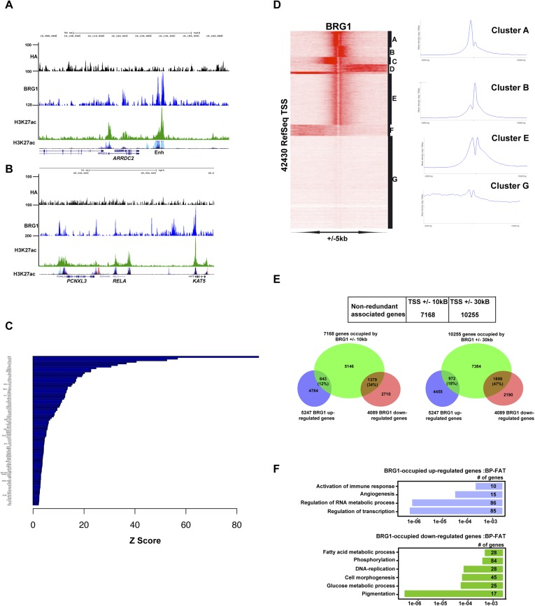 Profiling of BRG1 genome occupancy. ( A – B ) UCSC screenshots illustrating BRG1 occupancy over the ARRDC2 and REL1 loci highlighting co-localization with H3K27ac-marked enhancers either in the Encode data track or in Human Foreskin Melanocytes (HFM). ( C ) Enrichment of TF binding motifs at BRG1-occupied sites. ( D ) Clustering analysis of BRG1 occupancy at RefSeq TSS illustrating the presence of BRG1 at a subset of TSS with different binding profiles. Cluster E showing BRG1 occupancy both upstream and downstream of the TSS was re-clustered to highlight the different profiles as shown in Figure 4E . ( E ) Integrative analysis of BRG1 ChIP-seq data with shBRG1 RNA-seq data. A table shows the number of genes with BRG1-occupied sites ±10 kb or ± 30 kb from the TSS. Venn diagrams indicate the number of these genes that are up- or down-regulated following shBRG1 knockdown. ( F ) Ontology analysis of the BRG1-associated up- and down-regulated genes. DOI: http://dx.doi.org/10.7554/eLife.06857.010