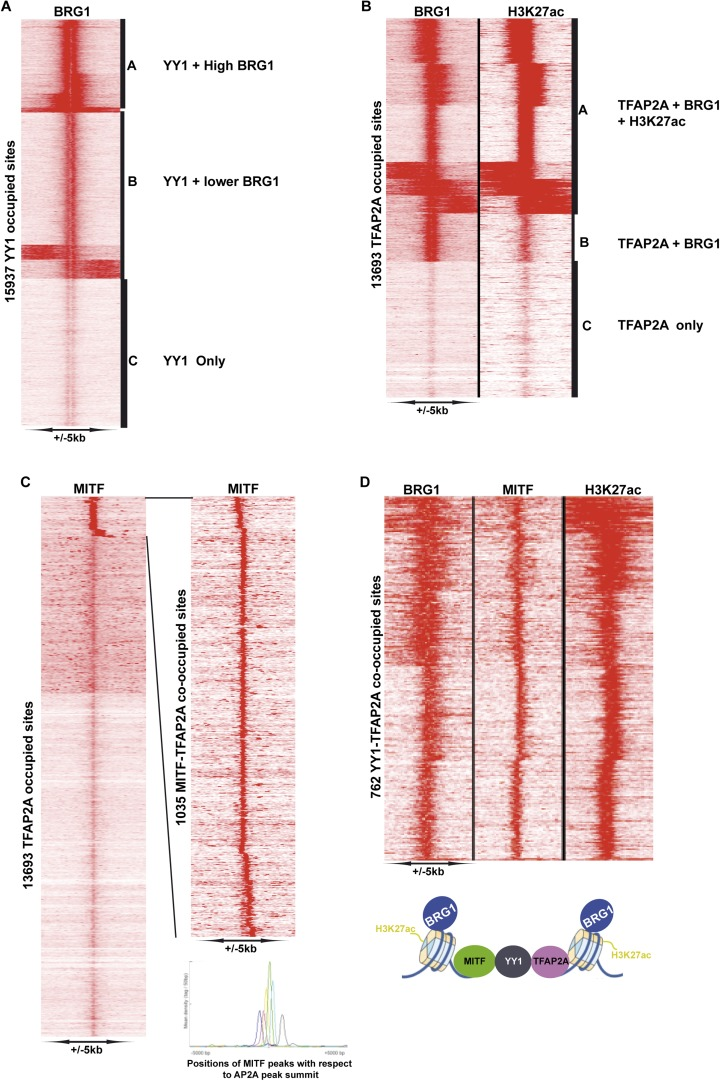 Identification of YY1-TFAP2A associated MAREs. ( A ) Clustering at YY1 occupied sites illustrates co-localization with BRG1. ( B ) Clustering at TFAP2A occupied sites illustrates co-localization with BRG1 and H3K27ac. ( C ) Identifcation of TFAP2A sites co-occupied by MITF. The re-clustering shown to the right illustrates that MITF may be localized at various distances up- or down-stream of TFAP2A. ( D ) Clustering identifies MAREs where MITF co-localizes with YY1, TFAP2A, BRG1, and H3K27ac. DOI: http://dx.doi.org/10.7554/eLife.06857.015