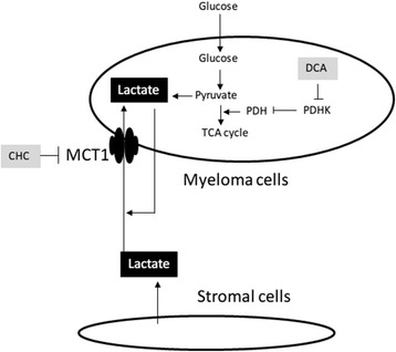 Schematic model of lactate kinetics between myeloma cells and bone marrow stromal cells. Lactate is produced by both myeloma cells and bone marrow stromal cells, suggesting that it acts as an autocrine and paracrine energy source. MCT1 may play an important role as a gate for incoming lactate. Targeting of MCT1 may result in decreased incorporation of lactate, resulting in cell death. PDH; pyruvate dehydrogenase, PDHK; pyruvate dehydrogenase kinase, MCT1; monocarboxylate transporter1, DCA; Dichloroacetate CHC; α-cyano-4-hydroxycinnamic acid.