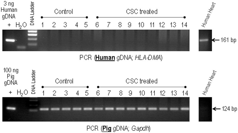 Detection of human CSCs in control versus hCSC-treated pig hearts. Genomic DNA isolated from representative LV sections from control (lanes 1–5) and human CSC-treated pigs (lanes 6–14) were analyzed by PCR for the presence of human genomic DNA (HLA-DMA). Samples were also analyzed for the presence of pig genomic DNA (Gapdh) as a control for DNA quality. Genomic DNA isolated from human heart sections was used as both positive and negative control. None of the samples, including CSC-treated ones, show detectable levels of human DNA.