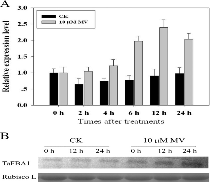 Expression of TaFBA1 in wheat under MV-induced oxidative stress. Wheat seedlings with one leaf were subjected to 10-μM MV treatments. Seedlings treated with sterile water were chosen as controls. Seedlings were harvested at different time points for analysis. (A) Expression of TaFBA1 at the mRNA transcript level in shoots, as shown by qPCR; tubulin cDNA was used as a control reference; (B) Expression of TaFBA1 at the protein level in shoots as shown by western blot. After 12.5% SDS-PAGE, protein samples were electro-transferred onto a PVDF membrane and probed with the TaFBA1 antibody produced in our laboratory. The Rubisco large subunit was used as a loading control.