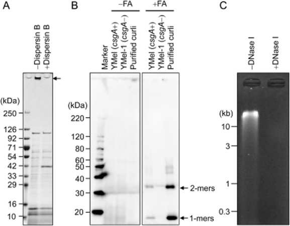 Applicability of the ECM extraction method to  S . epidermidis ,  E . coli  and  P . aeruginosa  biofilms.A. Extracellular matrices extracted from  S . epidermidis  SE04 by the addition of 1.5 M NaCl were treated with or without dispersin B and were then applied to SDS-APGE. The gel was stained with CBB. An arrow indicates polysaccharides.B. Extracellular matrices of  E . coli  YMel and its isogenic  csgA  mutant YMel-1 were isolated with 1.5 M NaCl. Curli amyloid fibres in the ECM fraction were treated with or without formic acid. Purified curli was also used as a positive control. The proteins were analysed by Western blotting using anti-CsgA antibody. Arrows indicate monomeric and dimeric CsgA. FA, formic acid.C. Extracellular matrices of  P . aeruginosa  PAO1 were extracted with 1.5 M NaCl and were subjected to agarose gel electrophoresis. The extracted ECMs were treated with or without DNase I. The gel was stained with ethidium bromide. The positions of molecular mass markers in kilodaltons (kDa) (A and B) and kilobase pairs (kb) (C) are shown at the left of each panel respectively.