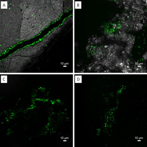 """Maximum intensity projections of biofilms from A cidianus sp. DSM 29099 on elemental sulfur. Samples were stained by lectins AAL-Alexa488 (A), Peanut agglutinin (PNA)-fluorescein isothiocyanate (FITC) (B), Erythrina cristagalli agglutinin (ECA)-FITC (C) and GS-I (D). Two distinguished lectin binding patterns became visible, tightly bound """"capsular"""" EPS staining (A and B) and loosely bound """"colloidal"""" (C and D). Color allocation: green = lectins, grey = reflection."""