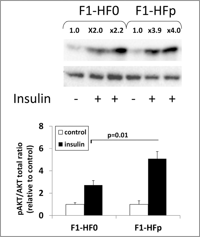 Western blot analysis of the ratio between phosphorylated PKB/AKT versus total PKB/AKT in the gastrocnemius muscle removed from F1-HF0 and F1-HFp mice stimulated or not by insulin (the fold stimulation by insulin, relative to the mean of the corresponding control without insulin was assigned above each band shown). For quantification, each blot has been hybridized to α-tubulin and the graphs below represent means ± SE; *p