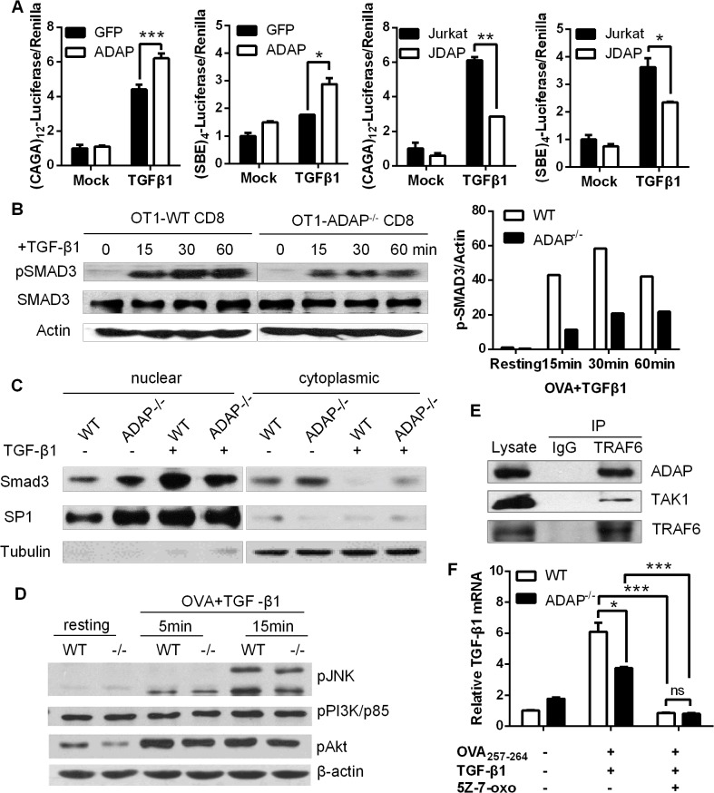 ADAP enhances <t>TGF-β1/TβRI</t> signaling via TRAF6-TAK1-SMAD3. (A) Wild type controls, ADAP-overexpressing Jurkat cells or ADAP deficient Jurkat cells (JDAP) were transfected with the (CAGA) 12 -luciferase and (SBE) 4 -luciferase reporters respectively. After exogenous TGF-β1 treatment (5ng/mL), the luciferase activity was assessed. Data are representative of two independent experiments. (B) Wild type or ADAP -/- CD8 + OT1 CTLs were generated with 10nM OVA 257-264 peptide stimulation, then treated with 5ng/mL exogenous TGF-β1 as the indicated time points. The levels of pSMAD3 (ser 423/425), total SMAD3 and β-actin were examined. The relative ratio between p-SMAD3 and β-actin was shown. Data are representative of two independent experiments. (C) WT and ADAP KO CD8 + CTLs were treated with 5ng/mL TGF-β1 for 30min, followed by preparation of cytoplasmic and nuclear extracts. Equal amounts of cytoplasmic and nuclear extracts were loaded for western blotting assay with antibodies against SMAD3. SP1 expression in nuclear extracts and tubulin expression in cytoplasmic extracts were used as controls. Data are representative of two independent experiments. (D) Wild type or ADAP -/- CD8 + OT1 Tg cells were stimulated with 10nM OVA 257-264 peptide and 5ng/mL exogenous TGF-β1 as the indicated time points. The levels of p-p38, p-JNK, p-p85 (Tyr458), p-AKT (Ser473) and β-actin were examined. Data are representative of two independent experiments. (E) Cell lysates from OT-I CD8 + CTLs were immunoprecipitated with anti-TRAF6 antibody, followed by immunoblotting with antibodies against ADAP, TAK1 and TRAF6. Data are representative of two independent experiments. (F)The mRNA levels of TGF-β1 were examined in CD8 + CTLs from wild type or ADAP -/- OT1 Tg mice that were generated with 10nM OVA peptide and 5ng/mL exogenous TGF-β1 in the presence or absence of the 2uM TAK1 inhibitor 5Z-7-oxozeaenol. Data are representative of three independent experiments.