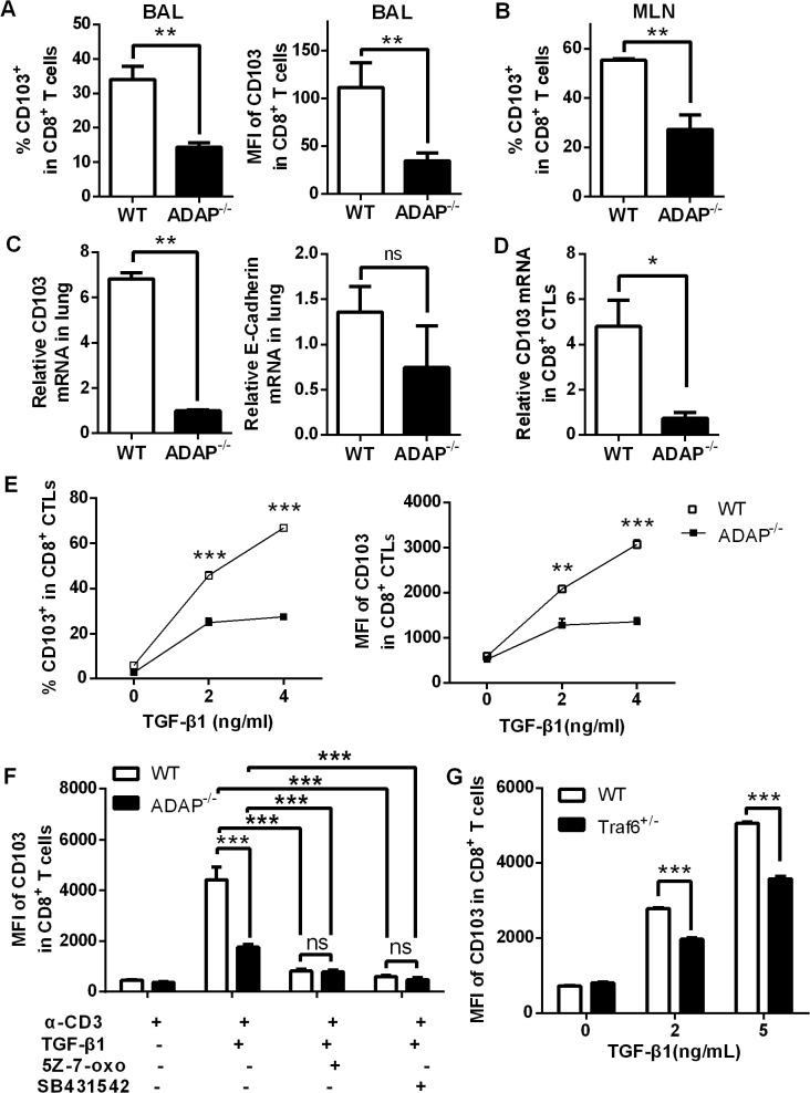 ADAP deficiency reduces TGF-β1-induced CD103 expression in CD8+ T cells. Wild type and ADAP -/- mice were infected with the H5N1 virus (n = 3). At day 10 post infection, surface CD103 expression levels on CD8 + T cells from BAL or MLNs (A, B) or the mRNA levels of CD103 or E-cadherin of lungs (C) were measured. Data are representative of two independent experiments. (D) The mRNA levels of CD103 were examined in 10nM OVA 257-264 -stimulated CD8 + CTLs from wild type or ADAP -/- OT1 Tg mice. Data are representative of two independent experiments. (E) Surface CD103 expression levels were examined from wild type or ADAP -/- CD8 + T cells after treated with anti-CD3/CD28 (2ug/mL) and exogenous TGF-β1 (5ng/mL). Data are representative of two independent experiments. Data are representative of three independent experiments. (F) Surface levels of CD103 were examined from anti-CD3/CD28 and exogenous TGF-β1-stimulated wild type or ADAP -/- CD8 + T cells, in the absence or presence of the TAK1 inhibitor (5Z-7-oxo; 2uM) or the TβRI inhibitor (SB431542; 10uM) respectively. Data are representative of two independent experiments. (G) Surface levels of CD103 were examined from wild type or TRAF6 +/- CD8 + T cells after stimulated with anti-CD3/28 antibody and exogenous TGF-β1. Data are representative of three independent experiments.