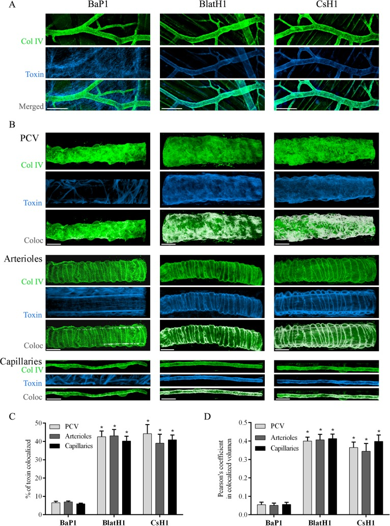 Immunolocalization of SVMPs with vascular basement membrane on cremaster muscle ex vivo . Isolated cremaster muscles were incubated for 15 min with equi-hemorrhagic amounts of either BaP1 (PI, 30 μg), BlatH1 (PII, 3.5 μg) or CsH1 (PIII, 15 μg) SVMPs labeled with Alexa Fluor 647 (blue). Control tissues were incubated with the SVMPs without labeling and no fluorescence was detected. Whole tissues were fixed with 4% paraformaldehyde and immunostained with anti-collagen IV following the secondary antibody labeled with Alexa Fluor 488 (green). Tissues were visualized in a Zeiss LSM 5 Pascal laser-scanning confocal microscope. Three-dimensional reconstitution of the images and analysis of co-localization were carried out with the IMARIS x64 7.4.2 software as described in Methods. (A) Distribution of the SVMPs in the cremaster muscle tissue. Scale bar represents 150 μm. (B) White areas represent co-localization of the SVMPs (blue) with collagen IV (green) of vascular basement membrane in PCV, arterioles, and capillaries. Scale bar represents 20 μm. Results are expressed as the mean ± SEM of (C) percentage of material of SMVPs co-localized with collagen IV of vascular basement membrane, and (D) Pearson´s correlation coefficient of at least four vessels type per tissue (n = 3). *p