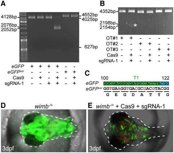 Experimental verification of sgRNA-1. (A) In vitro cleavage depending on sgRNA-1/Cas9 occurred on linearized plasmids containing eGFP but not eGFP var . Successful cleavage of eGFP plasmid (4128bp) resulted in a 2052bp and 2076bp fragment. The absence of expected fragments (627bp, 4025bp) demonstrated that eGFP var (4652bp) was not digested by sgRNA-1/Cas9. (B) A faint double band (2154bp, 2198bp, asterisk) indicated inefficient digestion of off-target 1 (OT#1) while OT#2 and OT#3 ( S1 Table ) were not cleaved. Note: contrast was enhanced for better visualization. (C) Silent mutations of sgRNA-1 target site in eGFP var . (D-E) Injections of sgRNA-1 and Cas9 mRNA into wimb -/+ embryos (D) resulted in strong inactivation of eGFP (E).