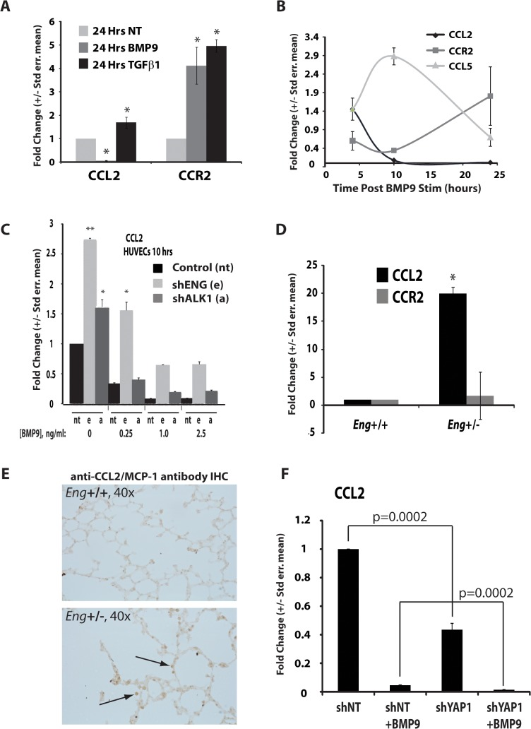 Inflammatory cytokines are regulated by BMP9 and endoglin expression and signaling. (A) CCL2 and CCR2 levels of expression in HUVEC following treatment with TGFβ or BMP9, as compared to control (NT). (B) qRT-PCR analysis of time course of BMP9-dependent changes in mRNA levels for CCL2, CCR2, and CCL5. (C) Relative to control lentivirus (NT), qRT-PCR indicates shRNA for endoglin or ALK1 (e, a, respectively) rescues BMP9-dependent repression of CCL2 expression. (D) CCL2 and CCR2 expression in WT (n = 3) and eng +/- (n = 3) mouse lung mRNA preparations. *, p
